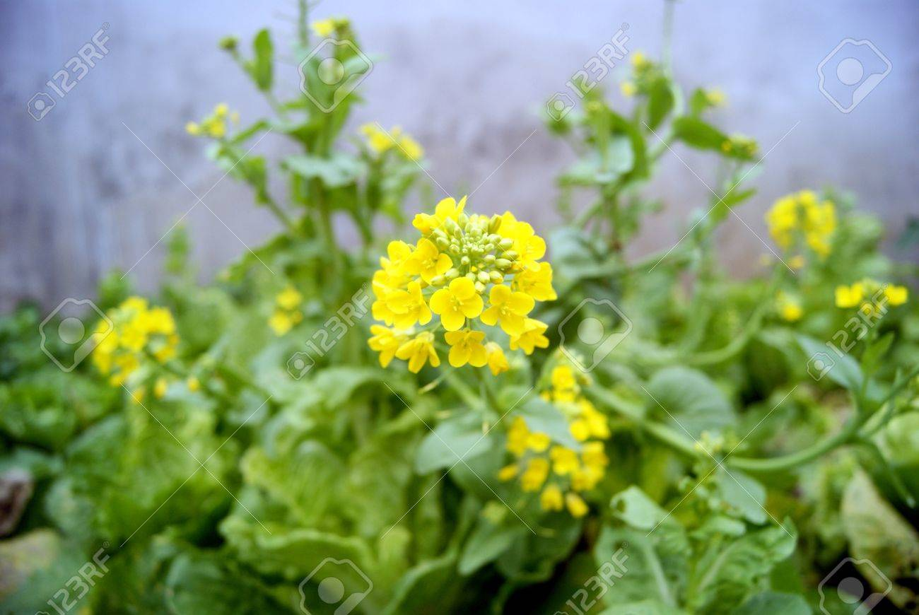 Yellow flowers vegetables stock photo picture and royalty free stock photo yellow flowers vegetables mightylinksfo