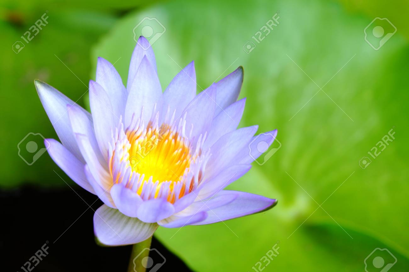 Close Up Purple Lotus Have Yellow Pollen In Pond On Green Lotus