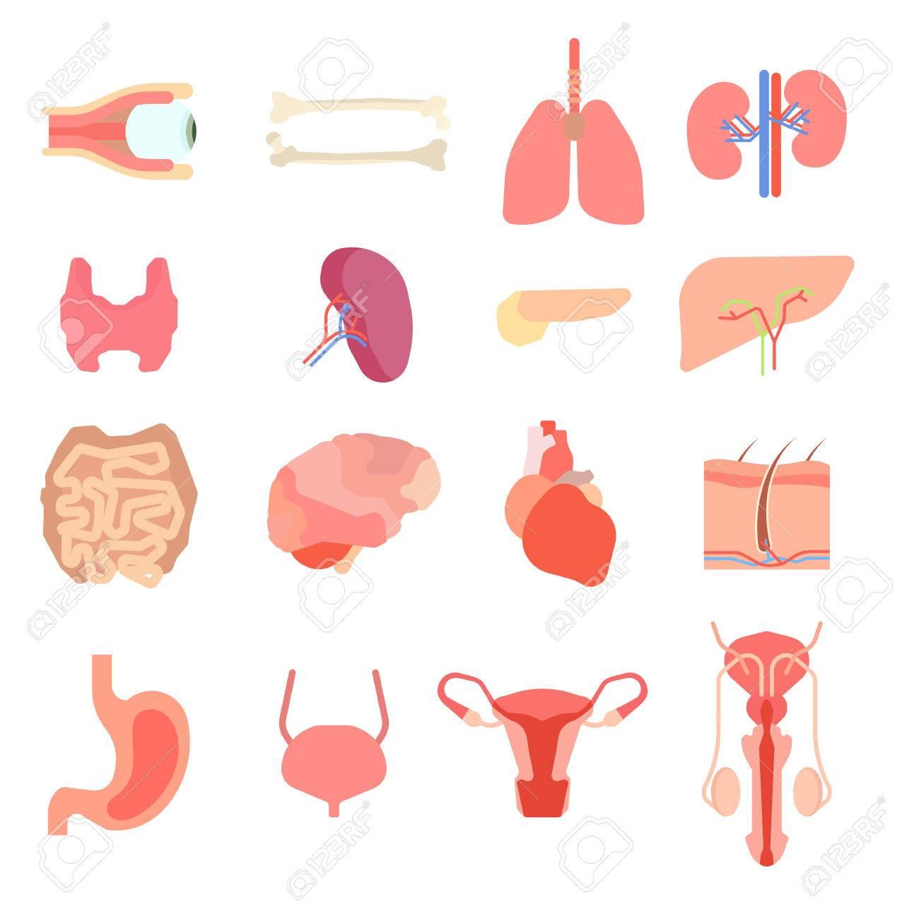Set Cartoon Internal Human Organs. Human Liver Medicine Anatomy ...
