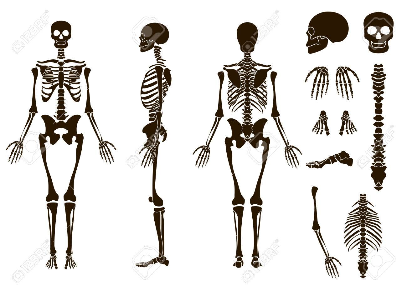 Los Huesos Humanos Esqueleto Conjunto De Elementos De La Estructura ...
