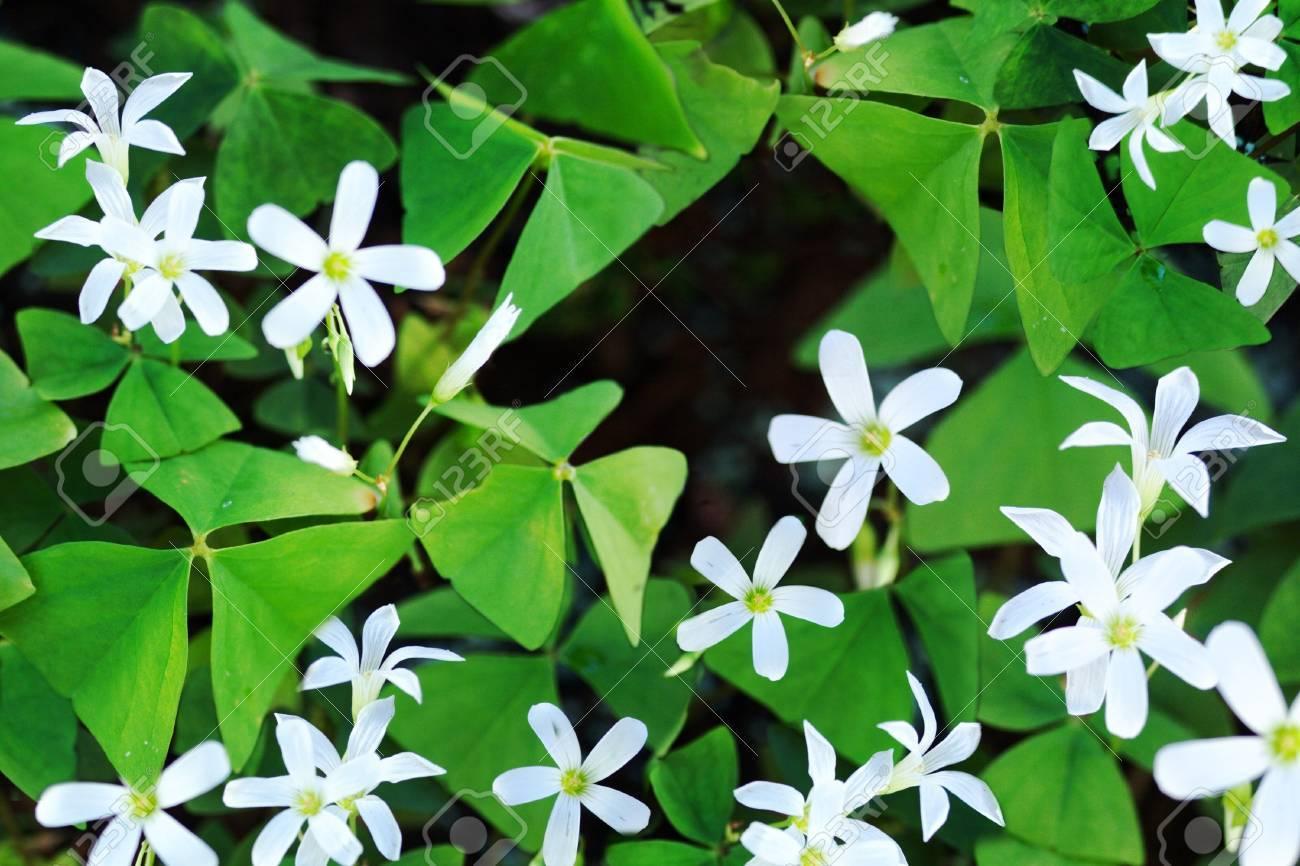 shamrocks in bloom Stock Photo - 16674576