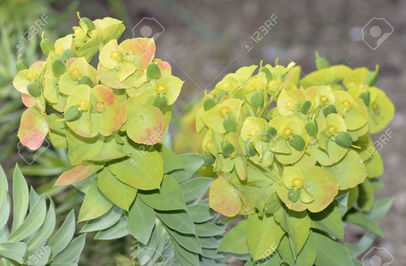 Upright Myrtle Spurge Or Gopher Spurge Euphorbia Rigidafrom