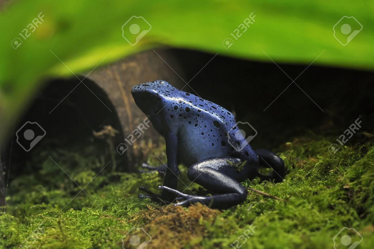 Grenouille Bleue Venimeuse grenouille venimeuse bleue - dendrobates tinctorius azureus espèce