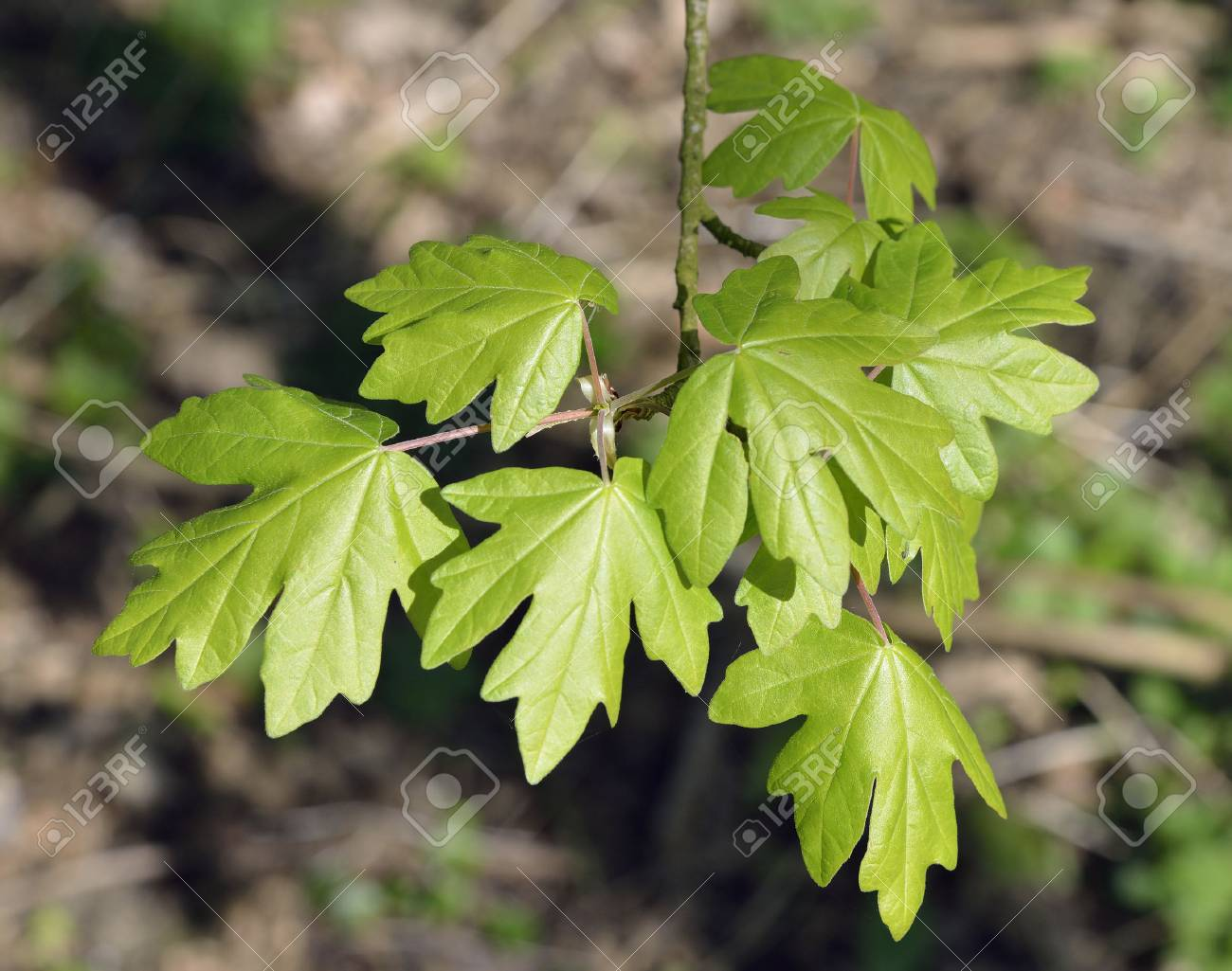 Field Maple Acer Campestre Fresh Spring Leaves Stock Photo