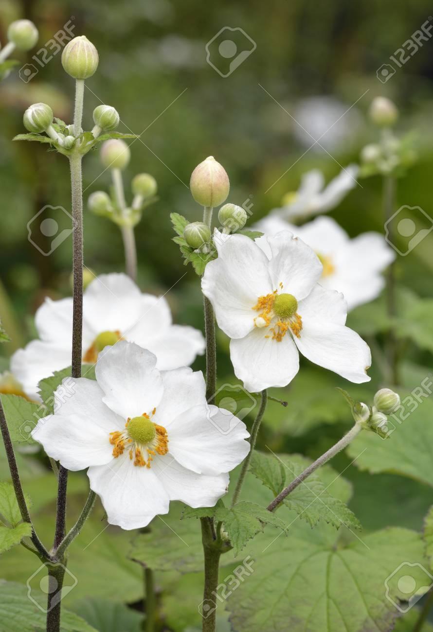 Anemona Japonesa Anemone Hupehensis Flores Blancas De Jardin