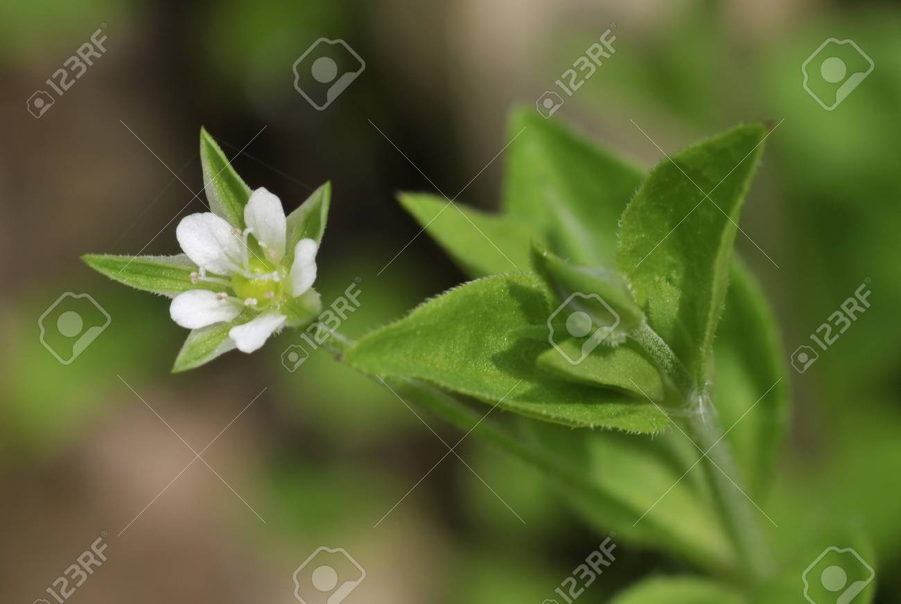 Three nerved sandwort moehringia trinervia single white flower stock photo three nerved sandwort moehringia trinervia single white flower and bud mightylinksfo