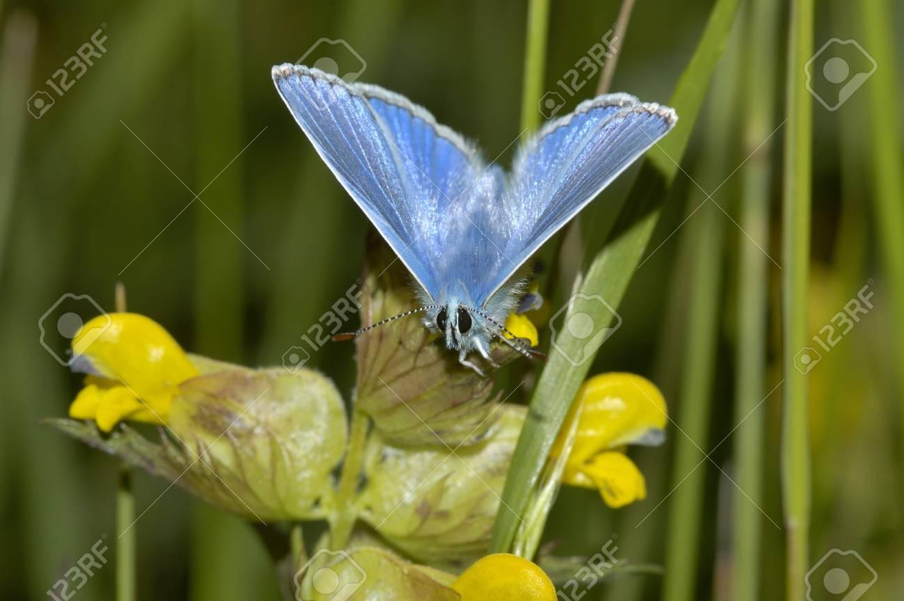 Common Blue Polyommatus Icarus Male On Yellow Rattle Flower Stock