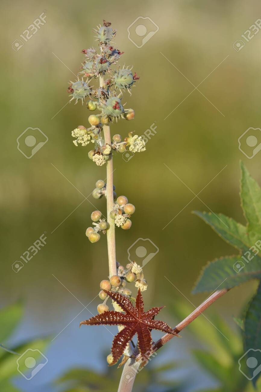 Castor Oil Plant Ricinus Communis New Leaf Male Female Flowers Stock Photo Picture And Royalty Free Image Image 150012730