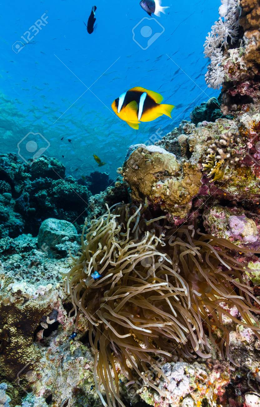 Single clownfish around its host anemone on a tropical coral reef in the Red Sea Stock Photo - 16791309
