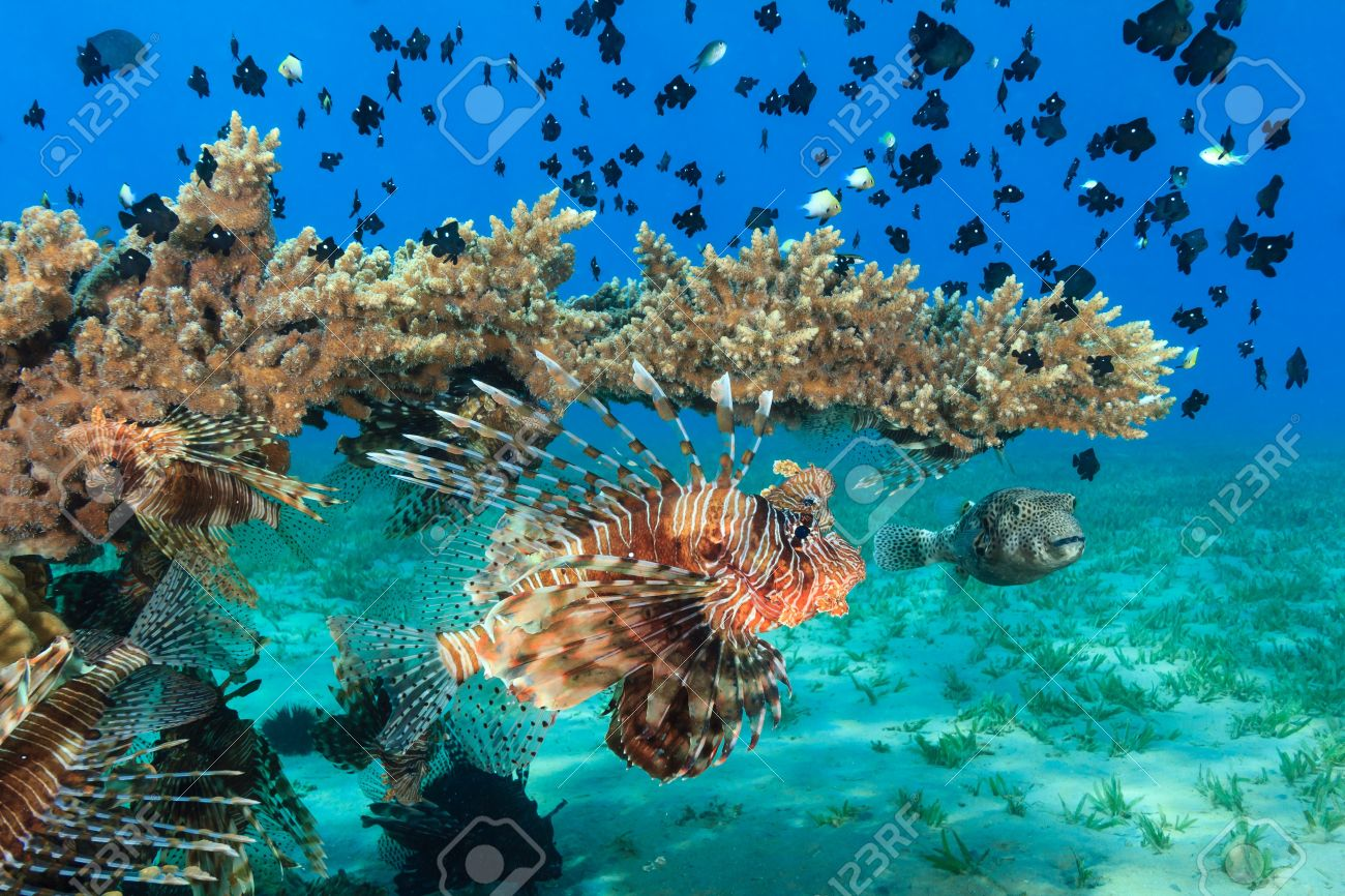 ミノカサゴや他の熱帯の魚、ミドリイシ テーブル サンゴ の写真素材 ...