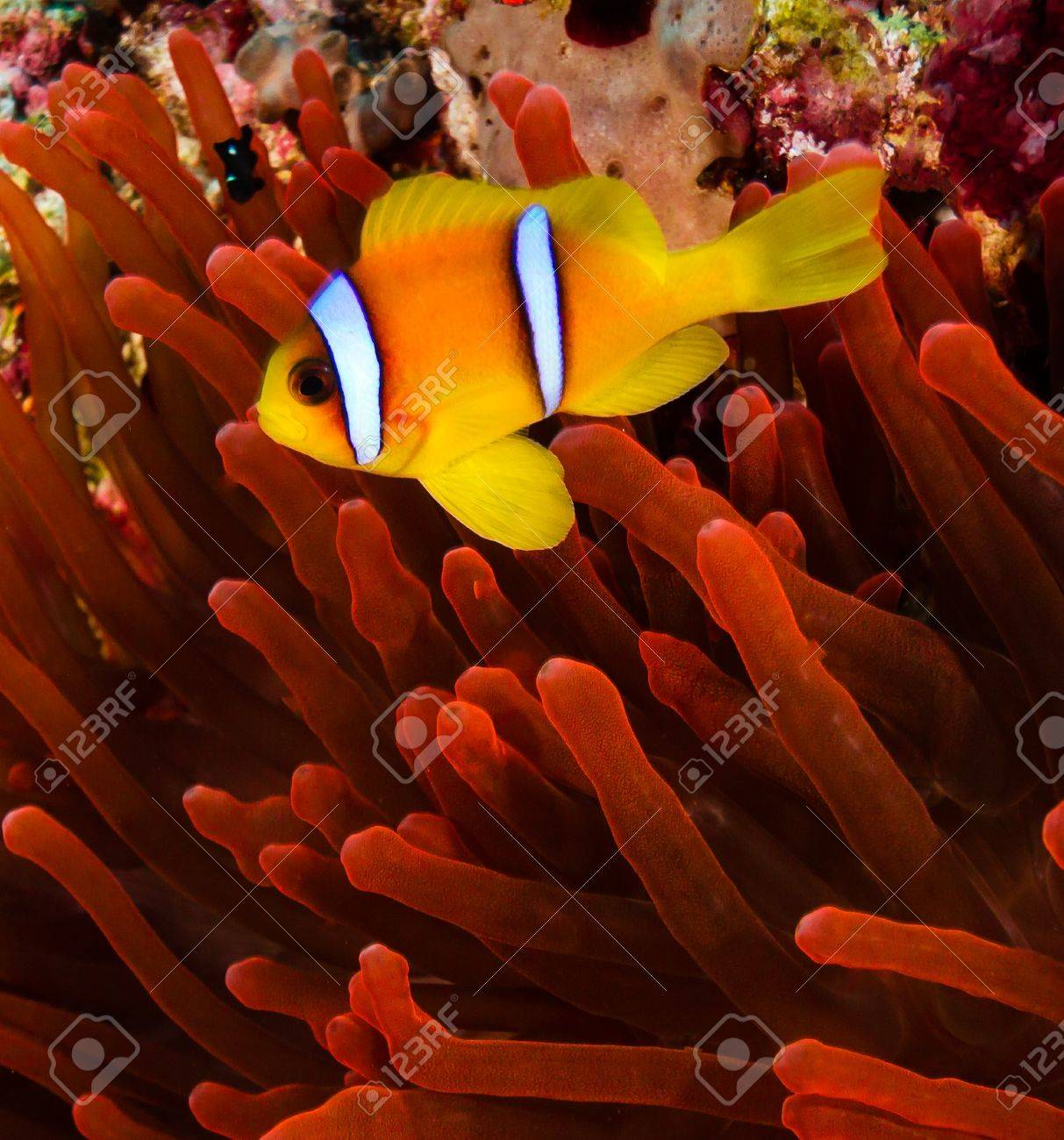 Red Sea Clownfish Anemonefish Next To A Vivid Red Anemone On.. Stock ...
