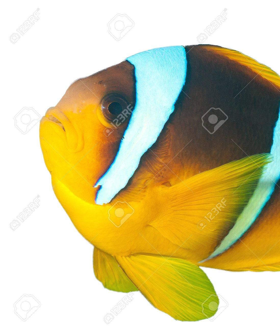 Clownfish on a white background Stock Photo - 16942073