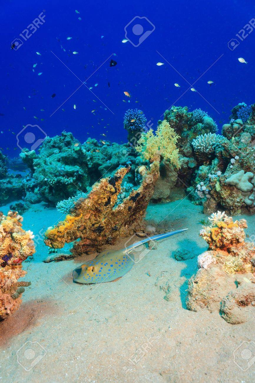 A Blue spotted Stingray sits on the sand next to a coral reef Stock Photo - 16942137