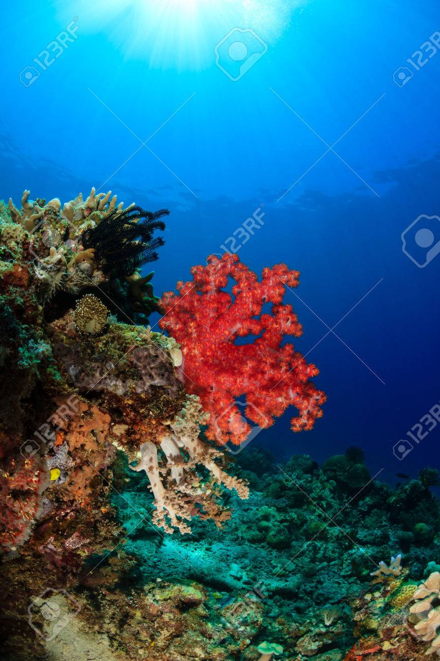 Sunbeams Illuminating Colorful Soft Corals On A Tropical Reef Stock ...