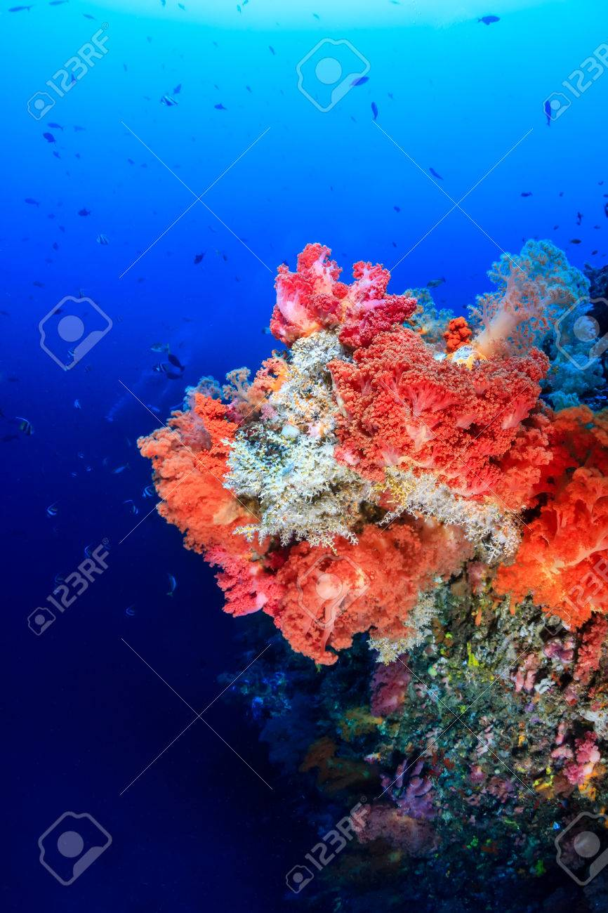 Colorful Pink And Orange Soft Corals On A Deep Coral Reef Wall Stock ...
