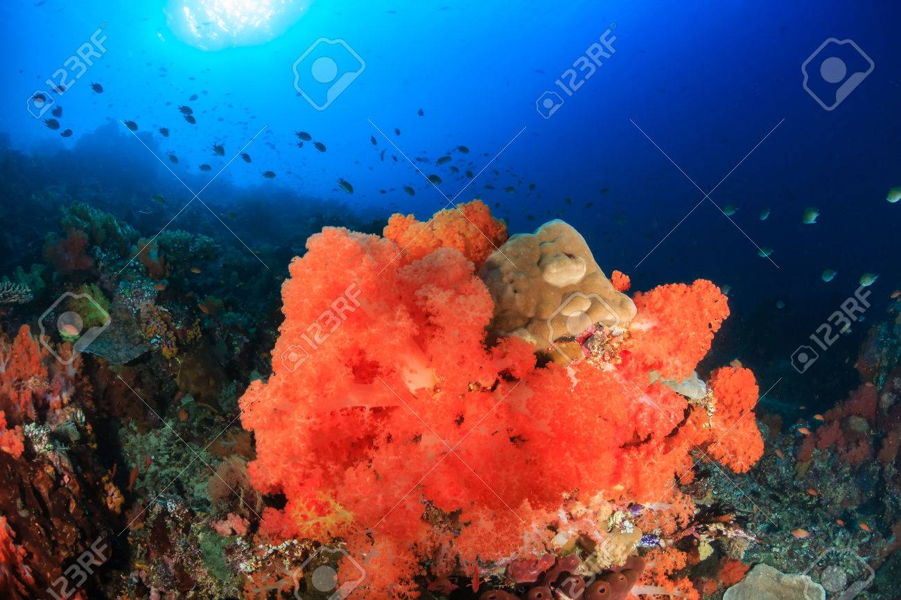 Bright, Colorful Soft Corals On A Healthy Tropical Coral Reef Stock ...