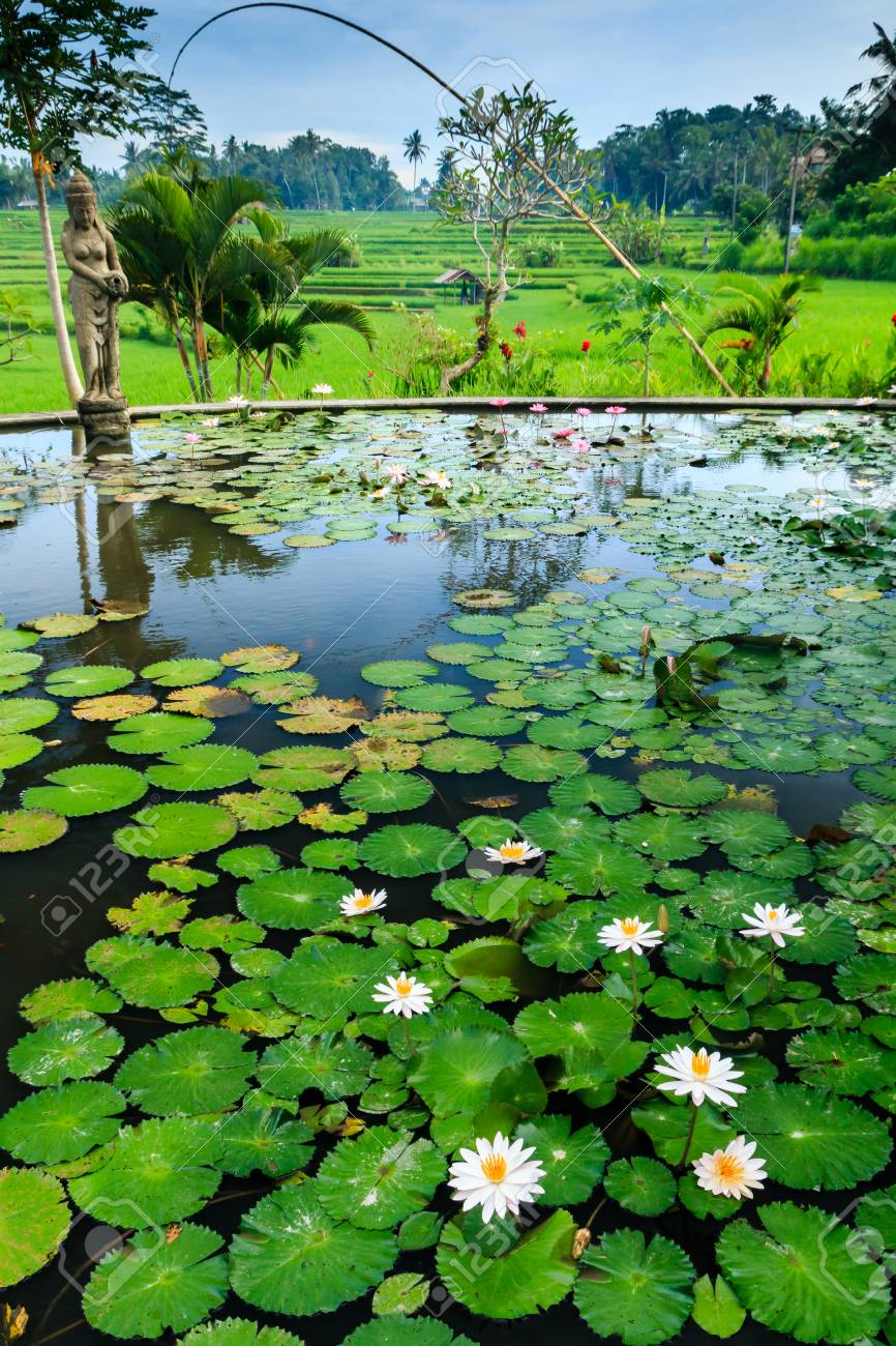 A Lilly Pond Leading Onto Rice Terraces In Bali, Indonesia Stock ...