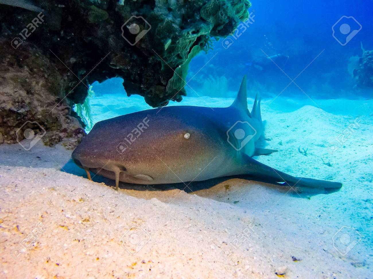 Nurse Shark Resting On The Sea Floor Stock Photo Picture And