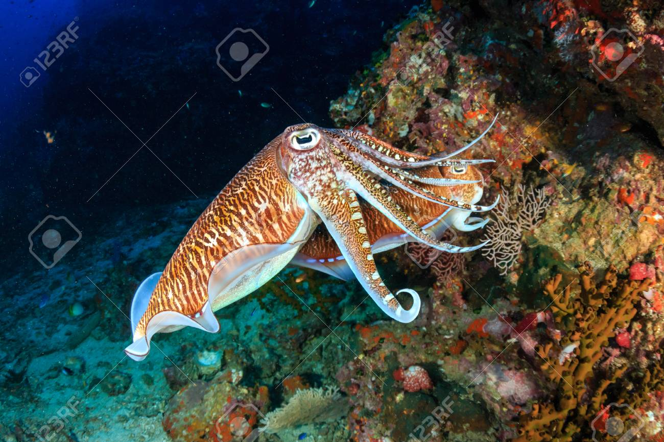 Mating Cuttlefish at sunrise on a deep, tropical coral reef - 95107628