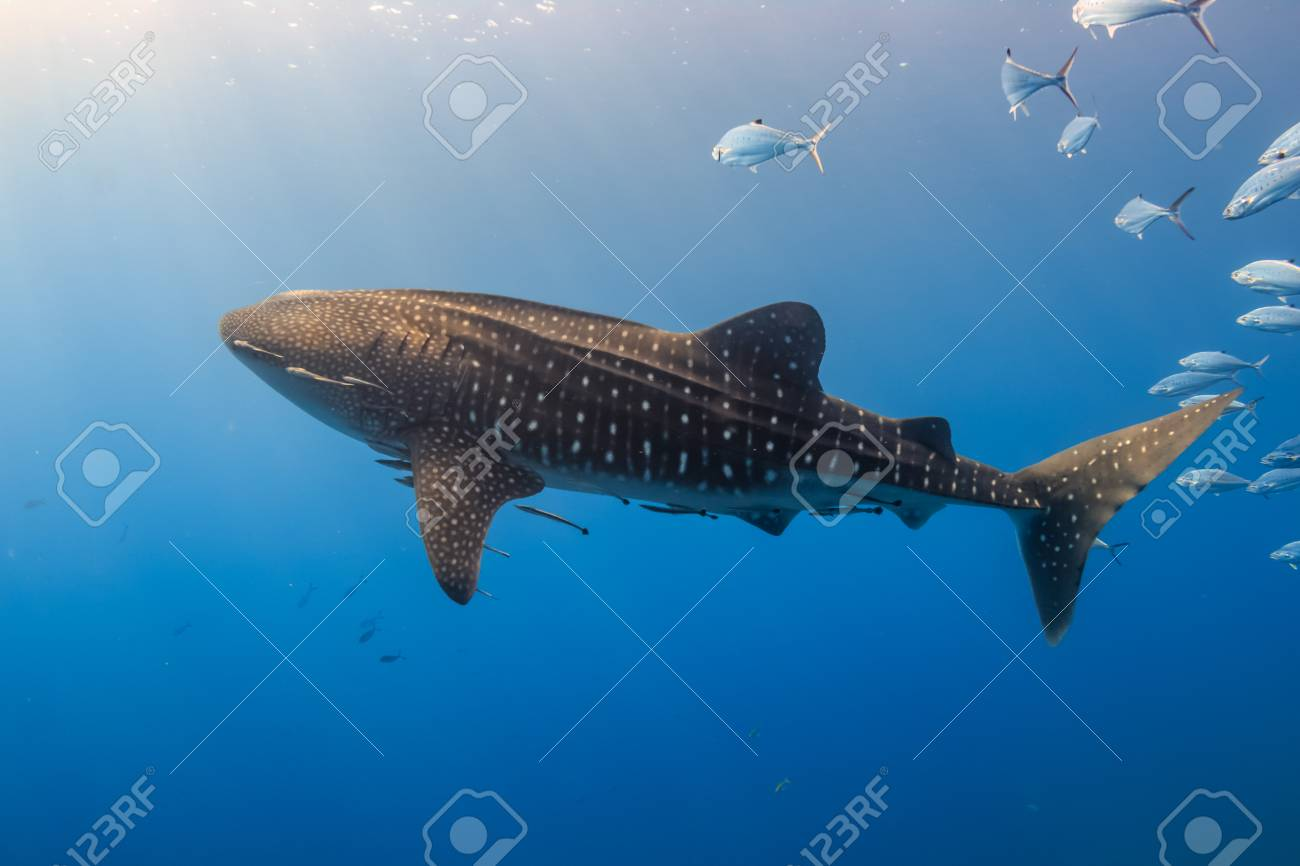 Large Whale Shark swimming in shallow water over a tropical coral