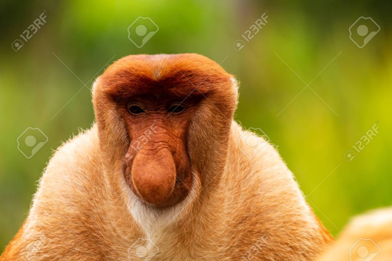 Portrait of a wild Proboscis Monkey in the rainforest of Borneo - 110730403