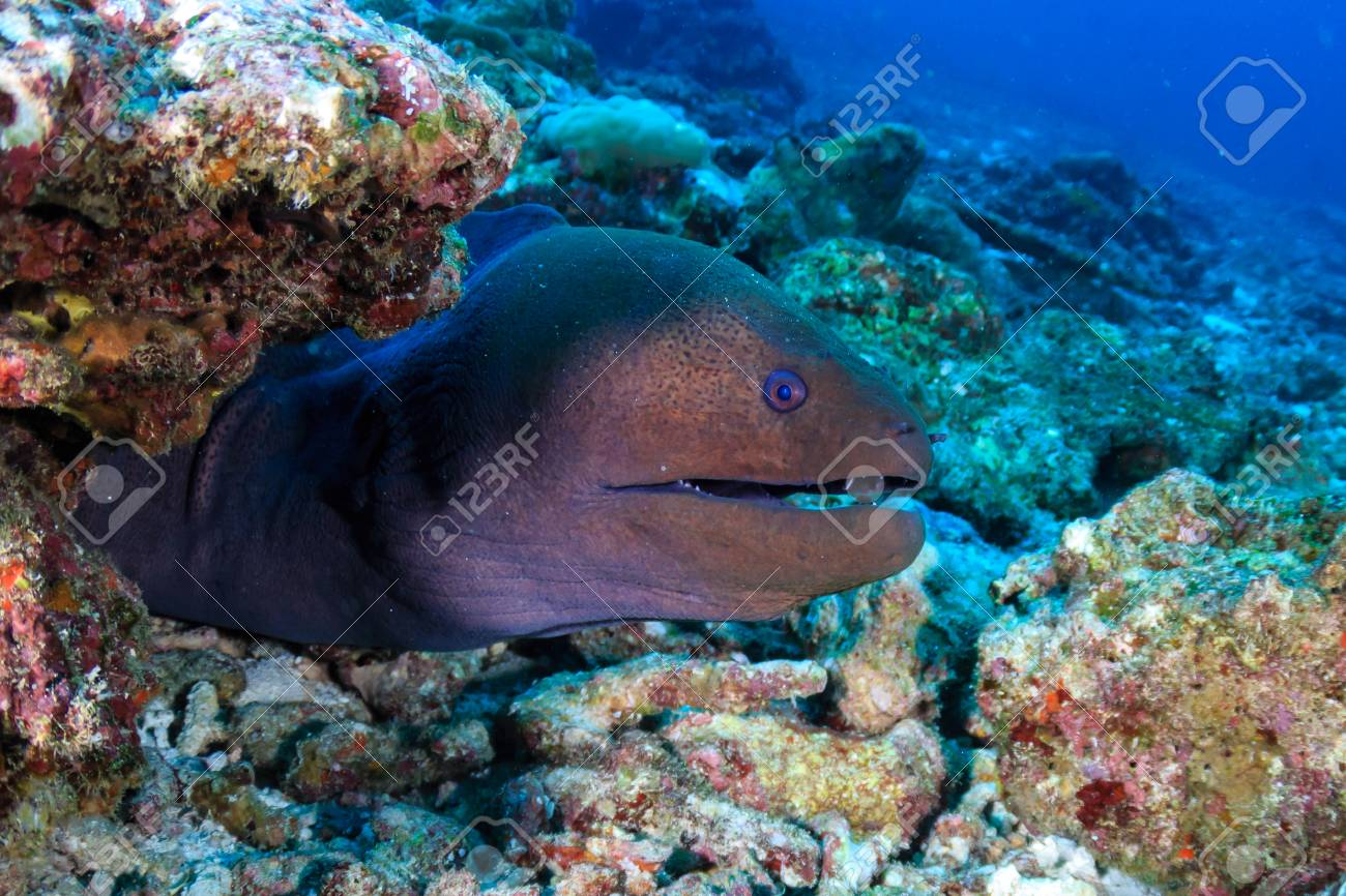 A Giant Moray Eel (Gymnothorax javanicus) on a tropical coral reef in Asia - 116862893