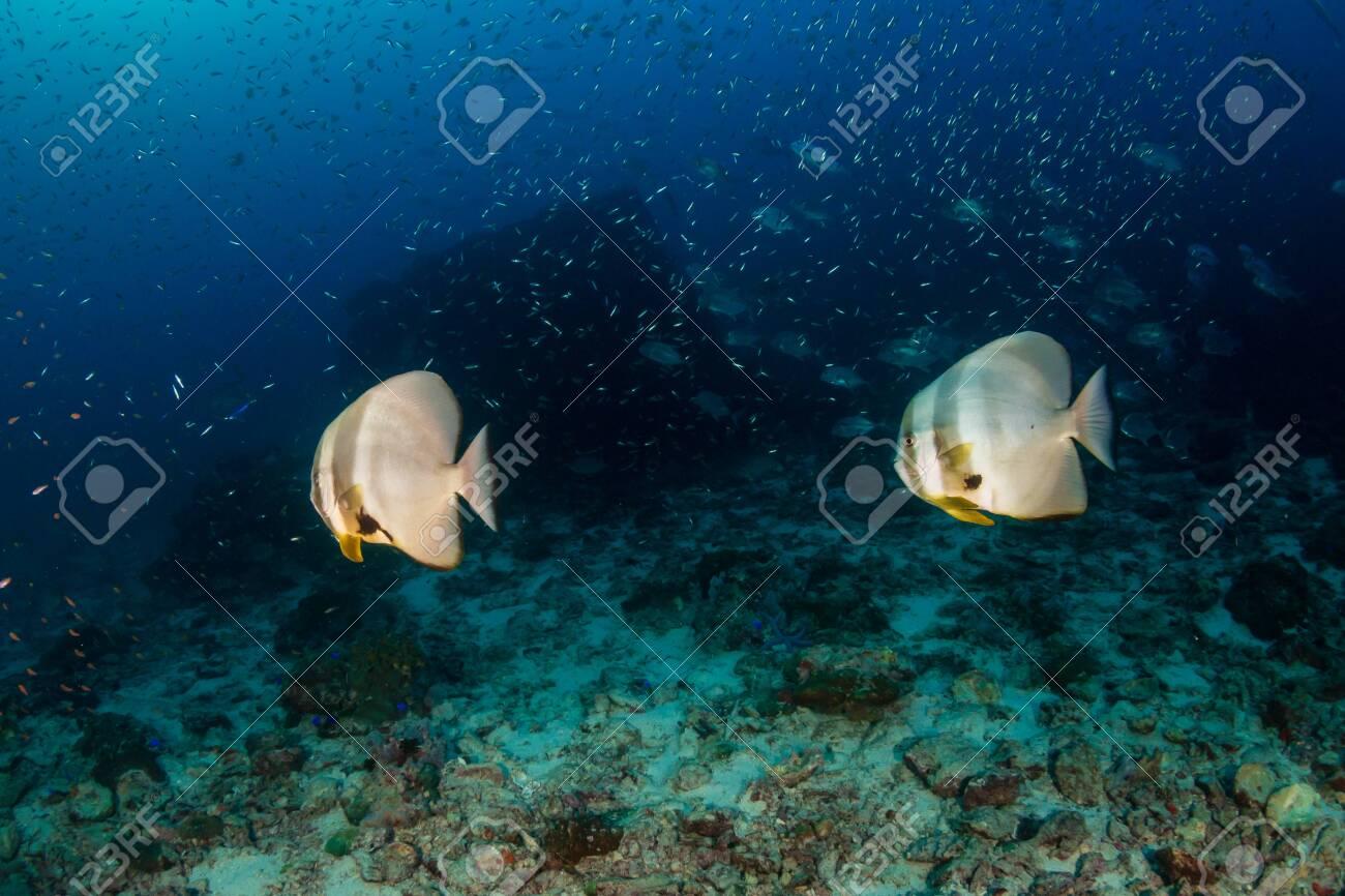 Batfish on a dark, gloomy tropical coral reef - 120889399