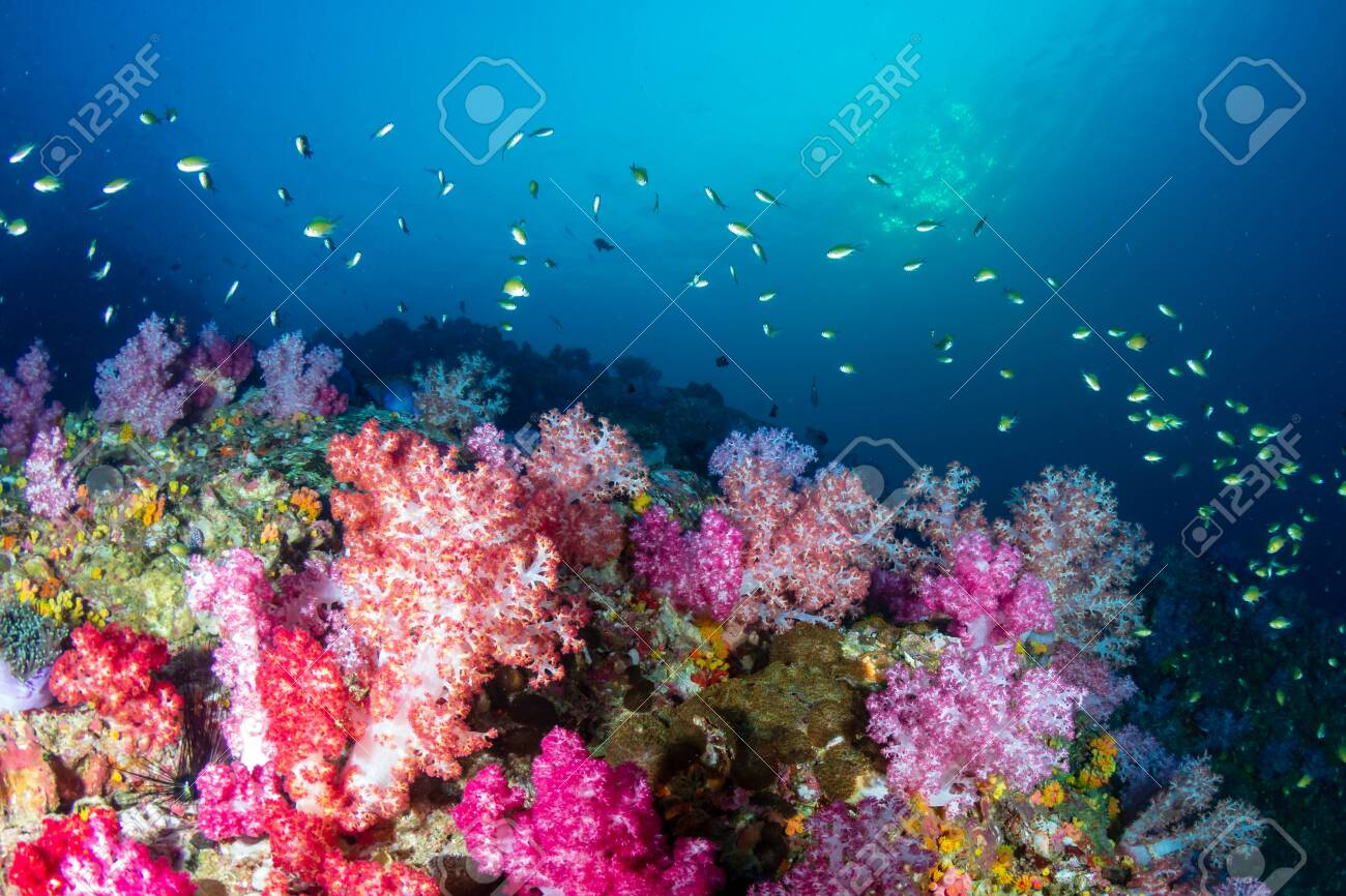 Beautiful, colorful soft corals on a tropical reef at Black Rock, Mergui Archipelago, Myanmar - 122662916