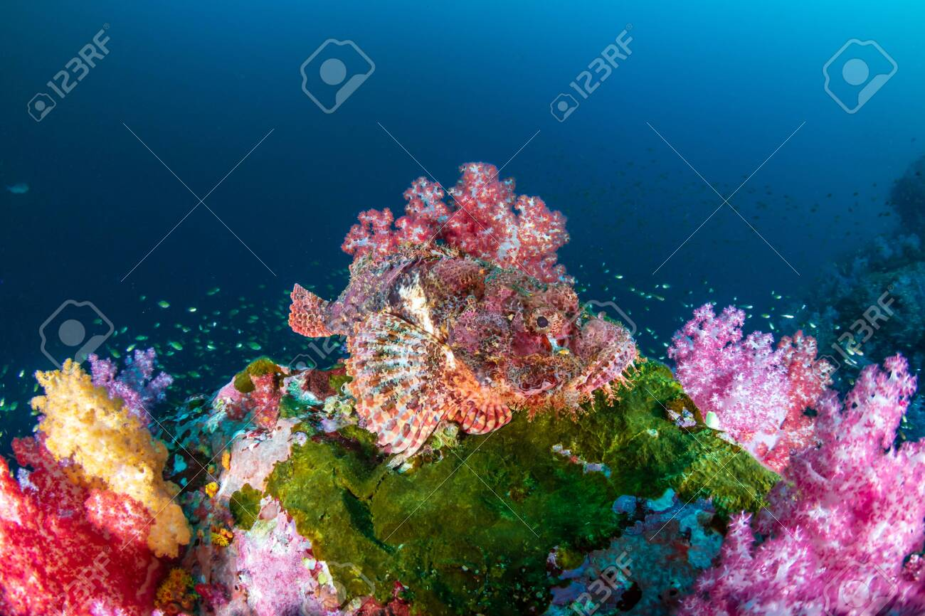 Scorpionfish hidden amongst beautifully colored soft corals on a tropical reef (Mergui Archipelago, Myanmar) - 122665300