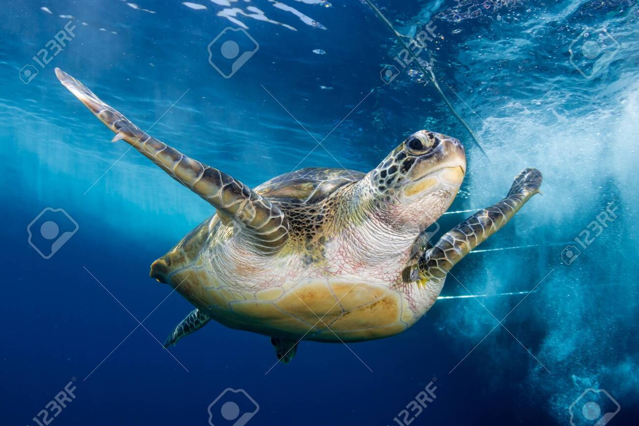 Green Sea Turtle Behind a SCUBA Diving Boat in a Tropical Ocean - 129513078