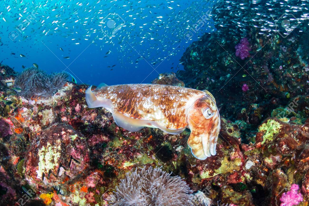 Cuttlefish on a colorful tropical coral reef - 135114025