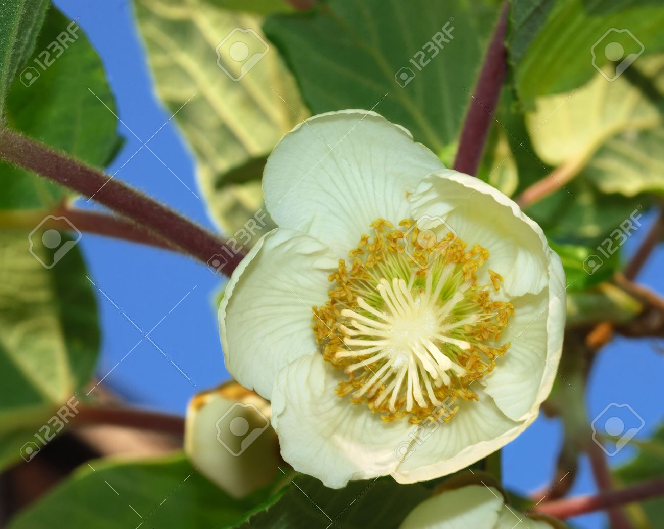 Fiori Kiwi.Close Up Of A Kiwifruit Female Flower With Leaves In Background