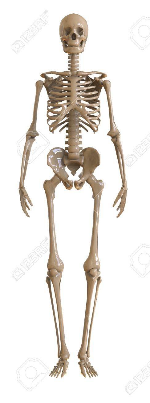 Magnífico Vista Lateral Del Esqueleto Humano Ornamento - Imágenes de ...