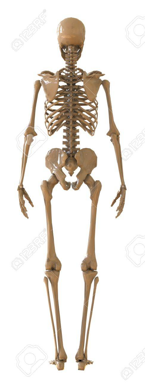 Skeleton rear view plastic layout of the human skeleton on white illustration skeleton rear view plastic layout of the human skeleton on white background 3d illustration ccuart Gallery