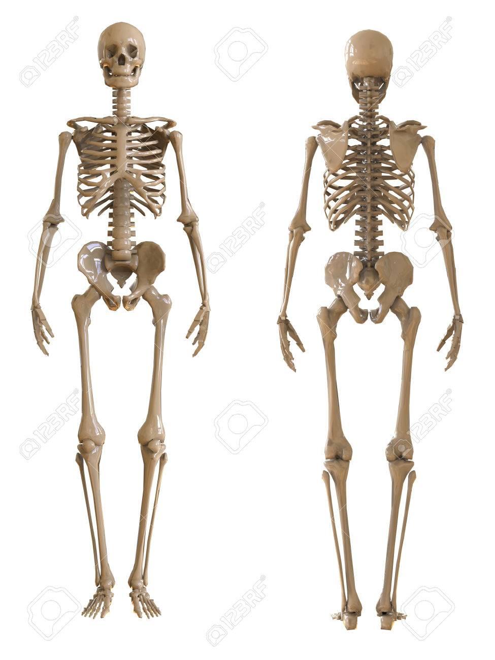 Gemütlich Menschliches Skelett Rückansicht Ideen - Menschliche ...