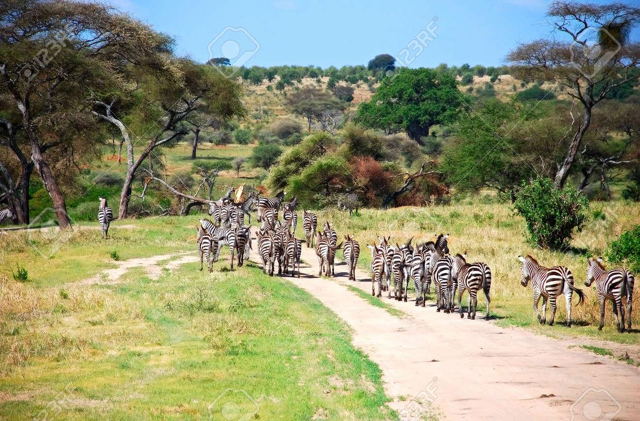 [Nantes] Balade de zèbres le 1er dimanche du mois 5807222-troupeau-de-z-bres-dans-la-savane-africaine-Banque-d'images