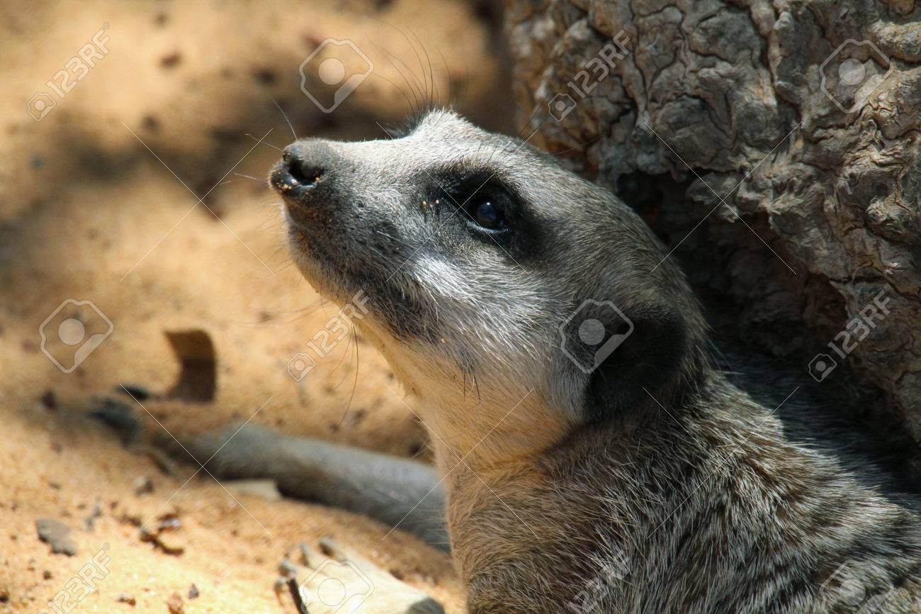 This animal have a cute face and love to dig to find the food    They are very social, living in colonies averaging 20 to 30 members  Meerkats live in all parts of the Kalahari Desert South Africa Stock Photo - 25490033