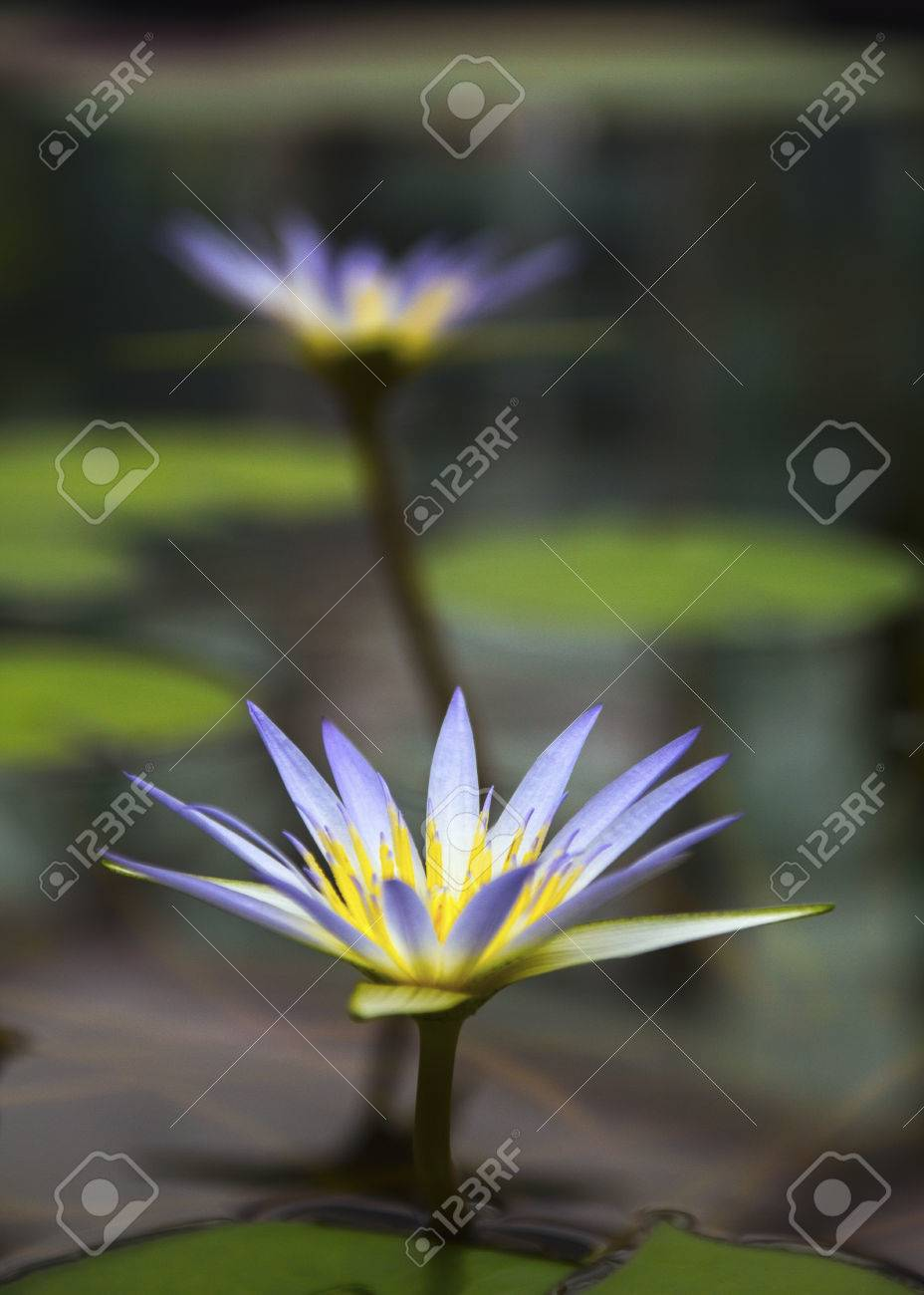 Nymphaea Caerulea Known Primarily As Blue Lotus Or Blue Egyptian