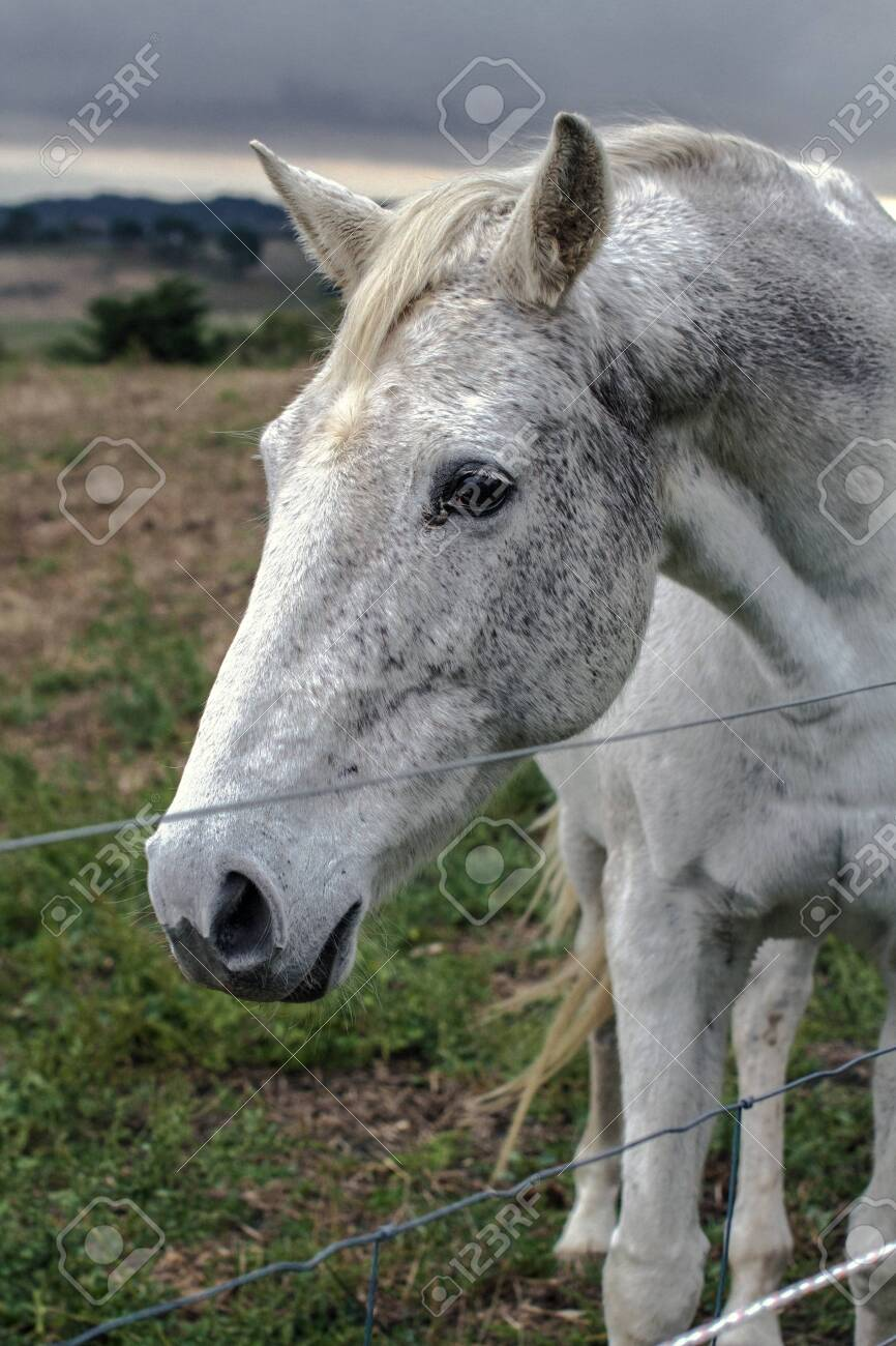 Close Up Face A Beautiful White Horse On The Farm Stock Photo Picture And Royalty Free Image Image 135027576
