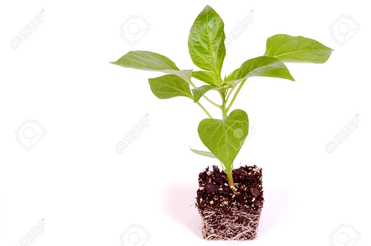 Pepper Plant on White Background - 890230