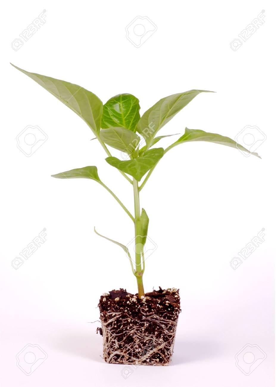 Pepper Plant on White Background - 890231