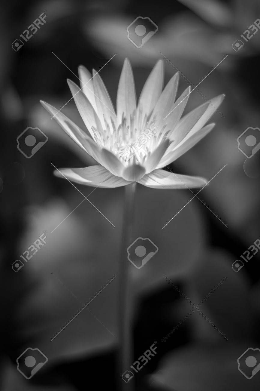 Bw Lotus Flower On A Pond Sign Of Peace And Clam Stock Photo