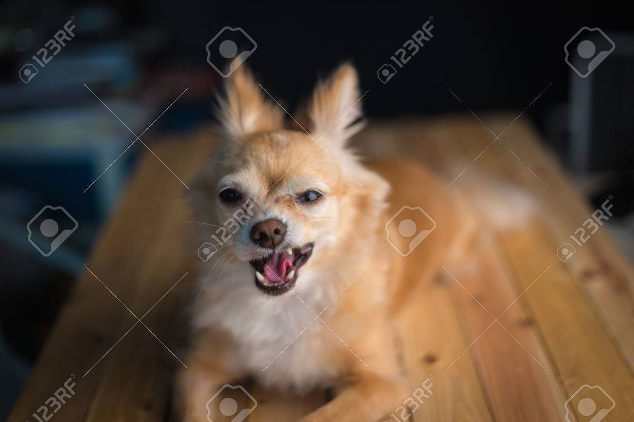 Close up of a chihuahua dog funny face in front of dark light close up of a chihuahua dog funny face in front of dark light screen stock voltagebd Images