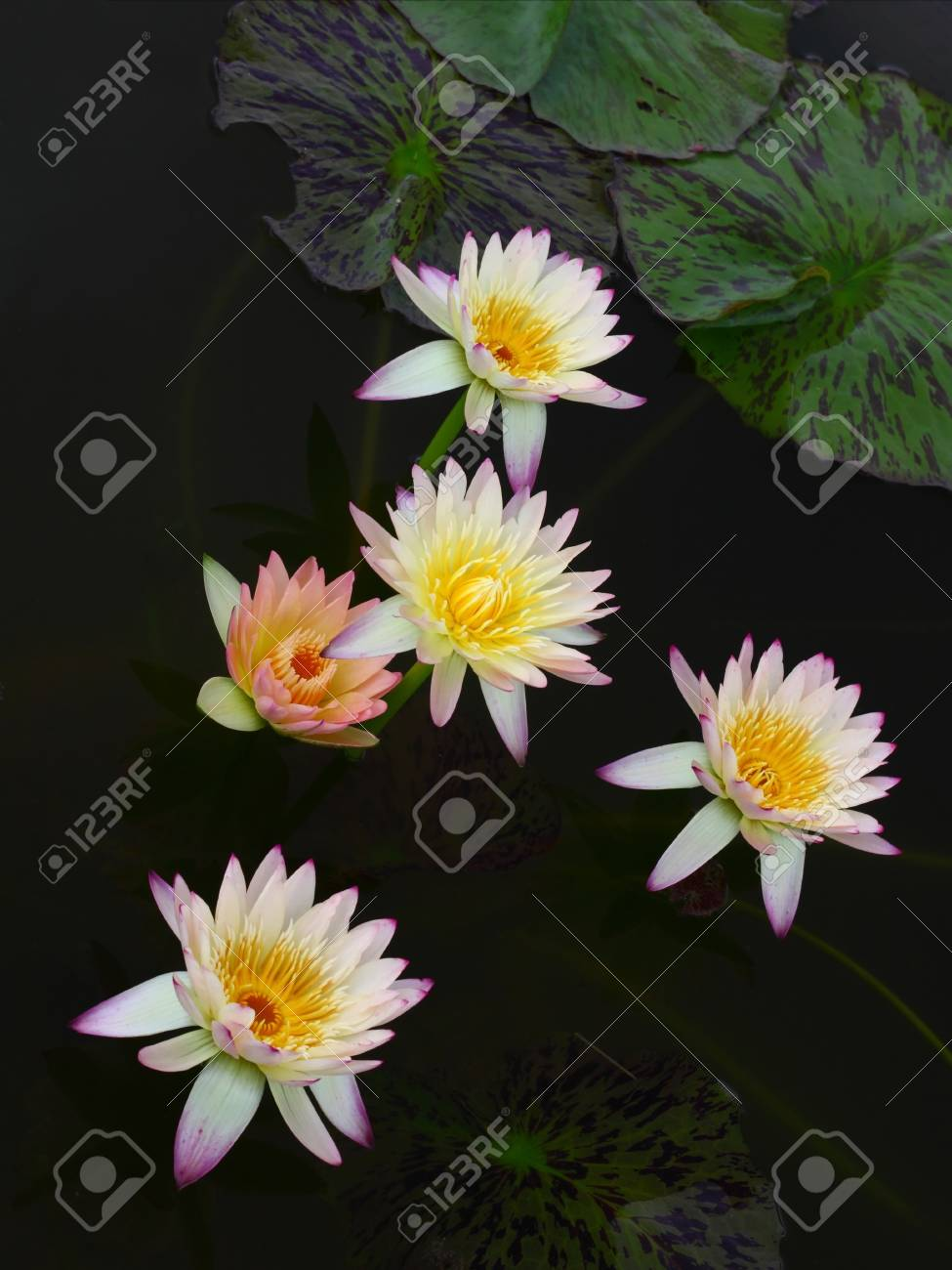Color Of Lotus Flowers On Water Stock Photo Picture And Royalty