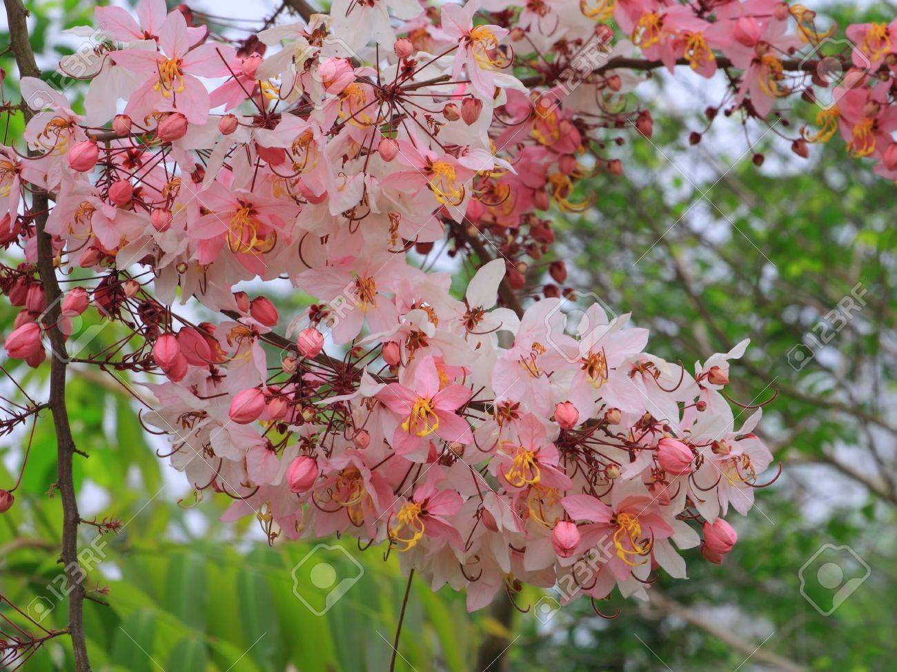 Pink Shower Tree Or Cassia Bakeriana Craib Is Beautiful Tropical