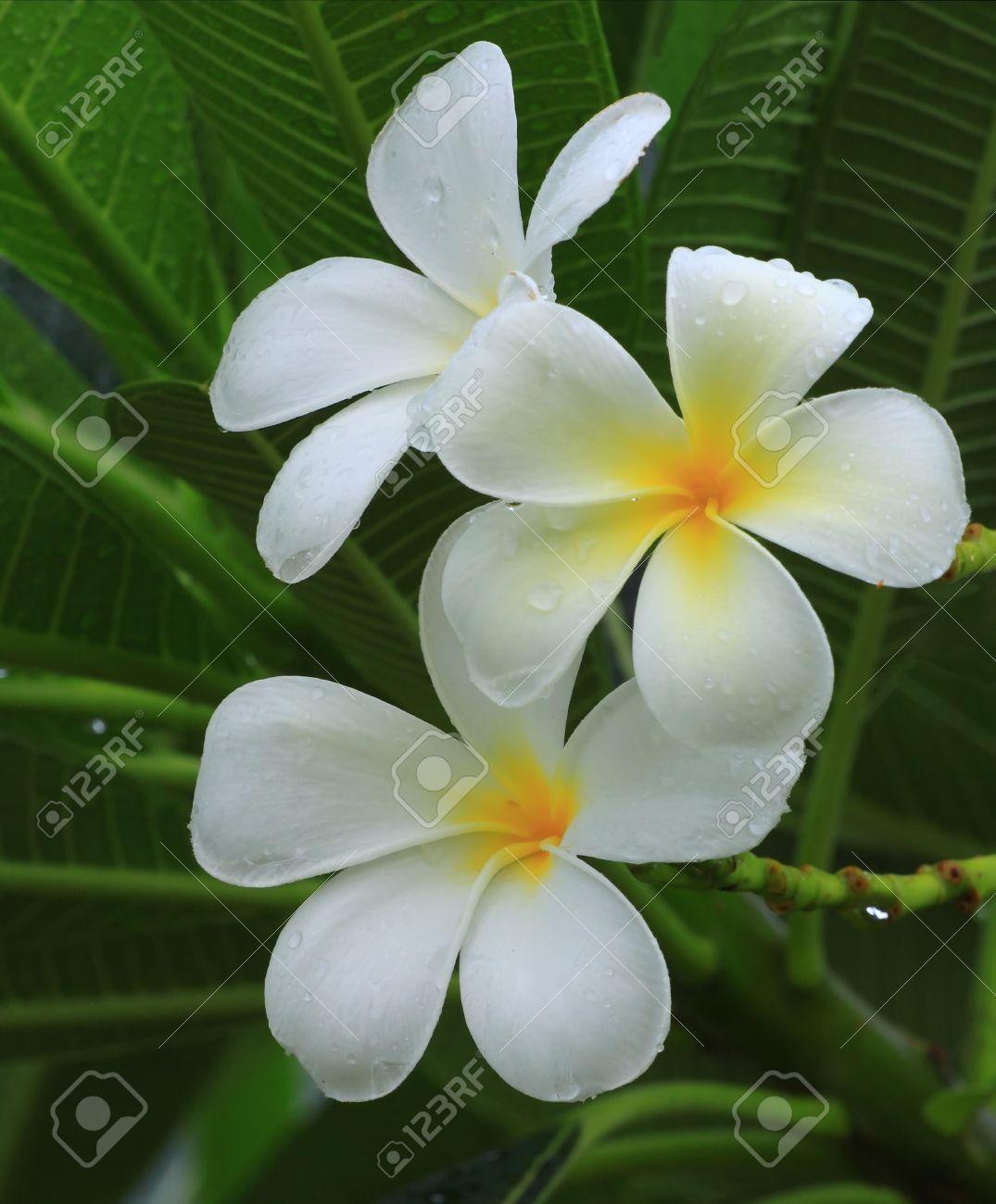 Frangipani Plumeria Nombre Común Es En General Las Plantas Con ...