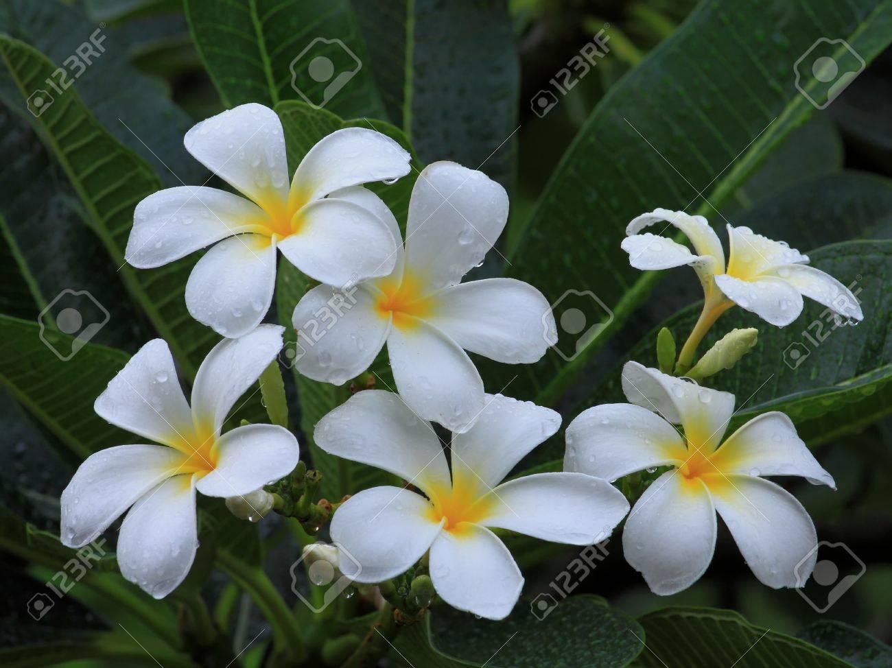 Plumeria Common Name Frangipani Is A Tropical Flowering Plants