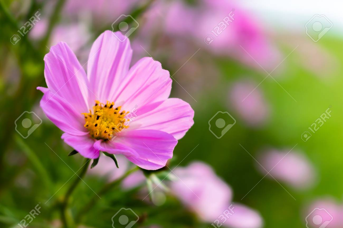 Pink Marigolds With Eight Petals On A Pink Flowers Background Stock