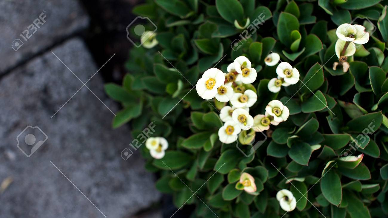 White Euphorbia Milii Flowers On The Ground Stock Photo Picture
