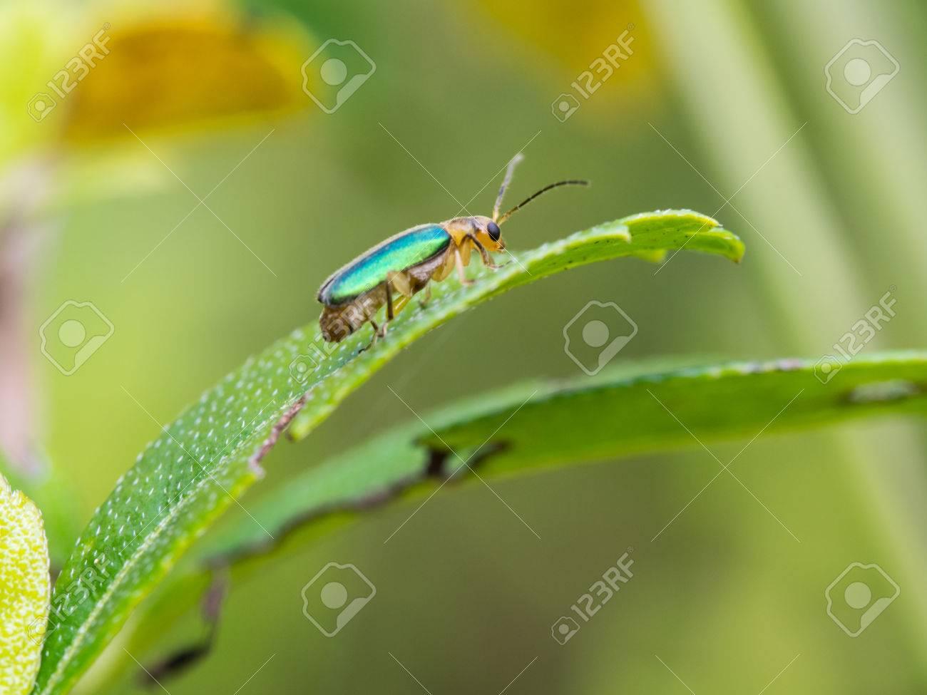 Metálico Del Madera-taladro Escarabajo Posado Sobre Una Hoja Fotos ...